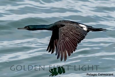 Pelagic Cormorant, Moss Landing CA, USA