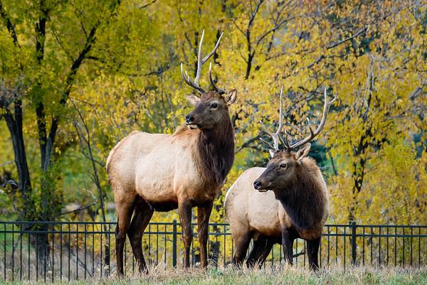 2014-11-09 - Elk in the Overlook