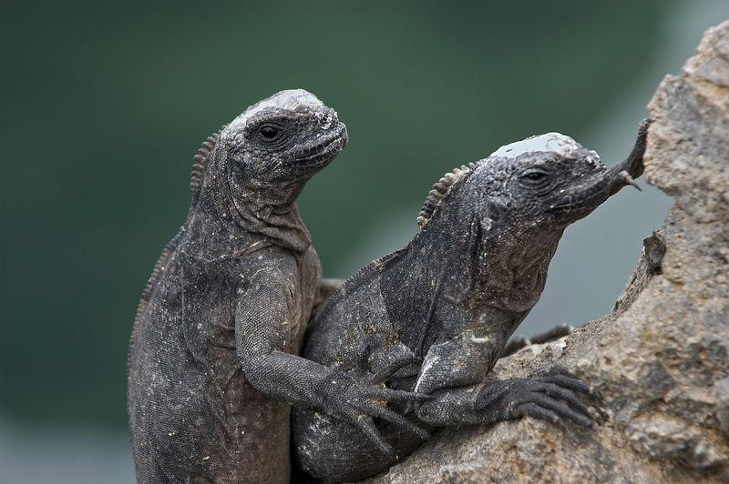 Two iguanas spooning   (Dec 10, 2005, 01:50pm)