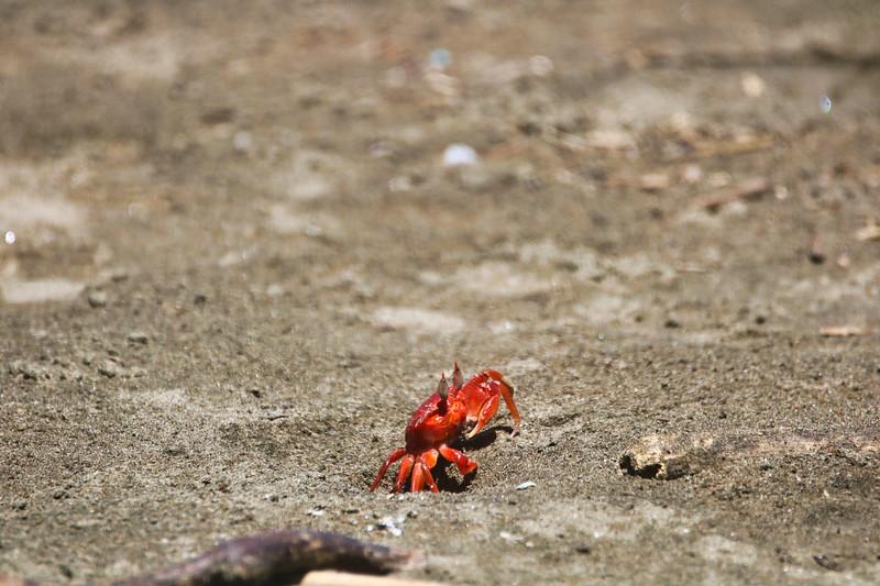 Crab walking at the beach
