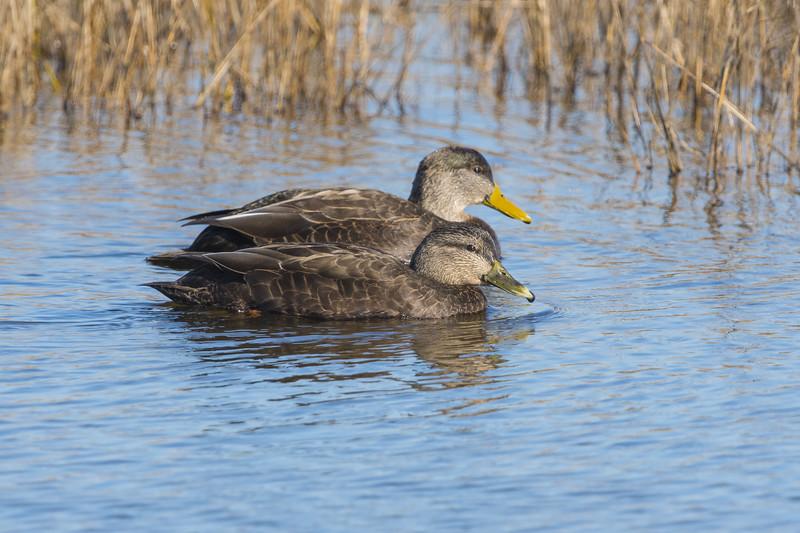 American Black Duck Pair.jpg