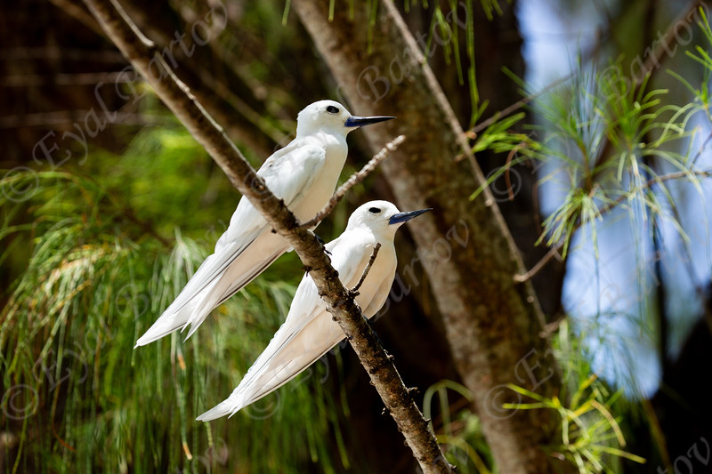 white fairy terns9.jpg