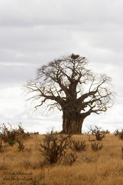 Baobab tree - Tarangire National Park, Tanzania