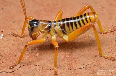 Raspy Crickets (Gryllacrididae)