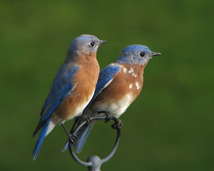 bluebird_fledgling_9887.jpg