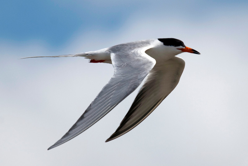 Common tern in flight, Galveston, another view