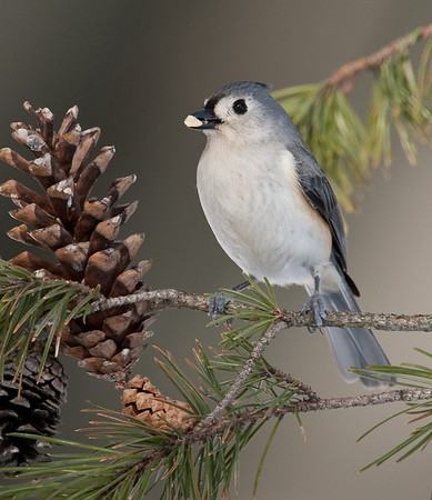 Chickadees | Nuthatches | Wrens