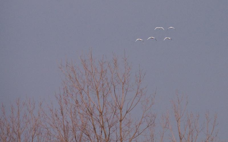 2011 swan migration aylmer (45 of 51).jpg