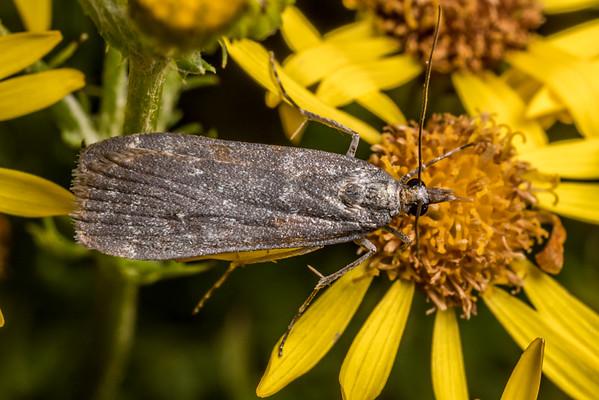 Eudonia cataxesta