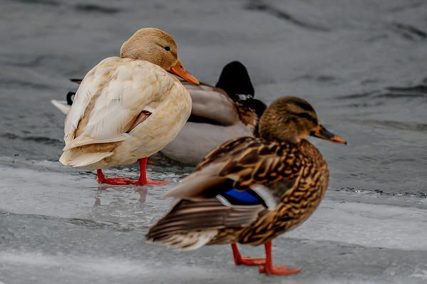 2-9-14 Leucistic Duck