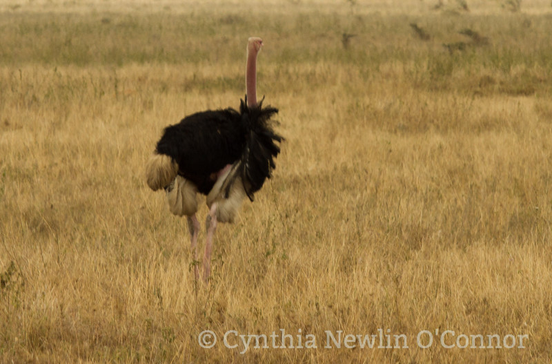 2410241 Ostrich.JPG