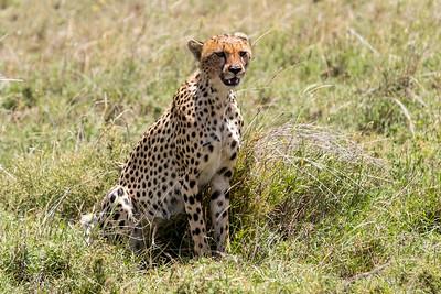Tanzania 2017 Cheetah
