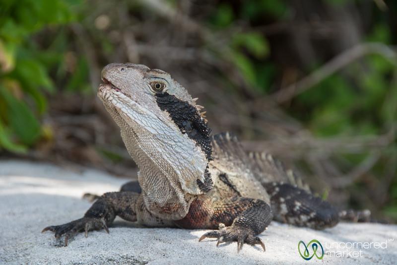 Iguana Near Manly Beach, Sydney