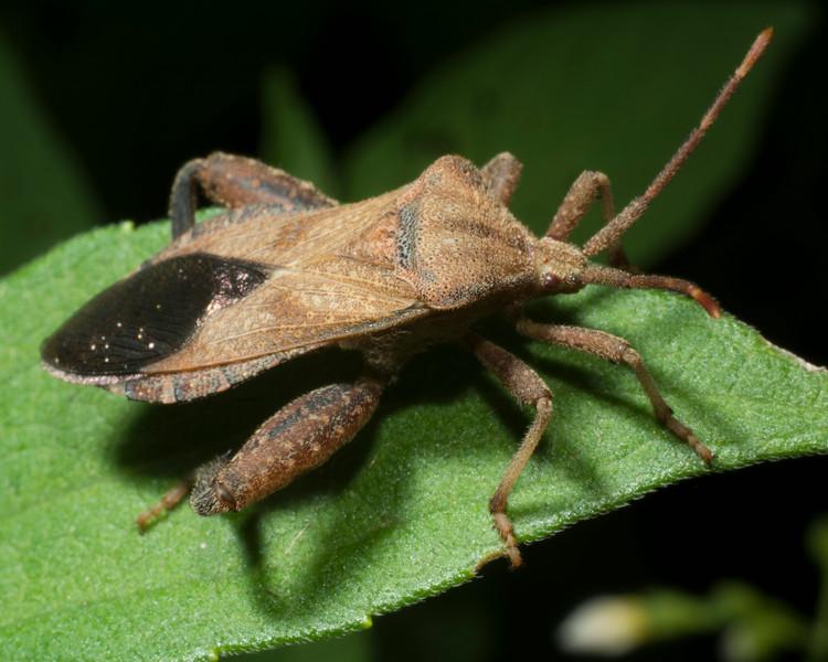 DX8478 Leaf-Footed Bug.jpg