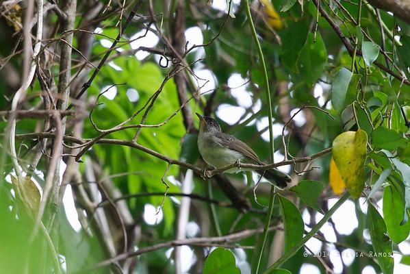 Black-Crowned Babbler