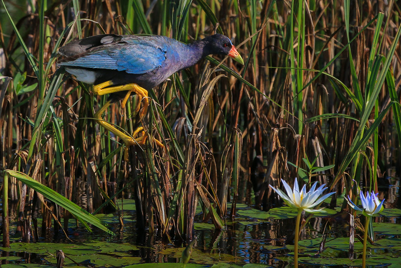 zAnahuac 8-14-14, NEW T3i, 080A, Adult Purple Gallinule (1 of 1).jpg
