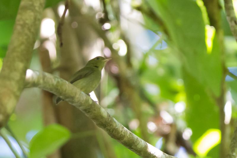Yellow-crowned Euphonia - Record - Osa, Costa Rica
