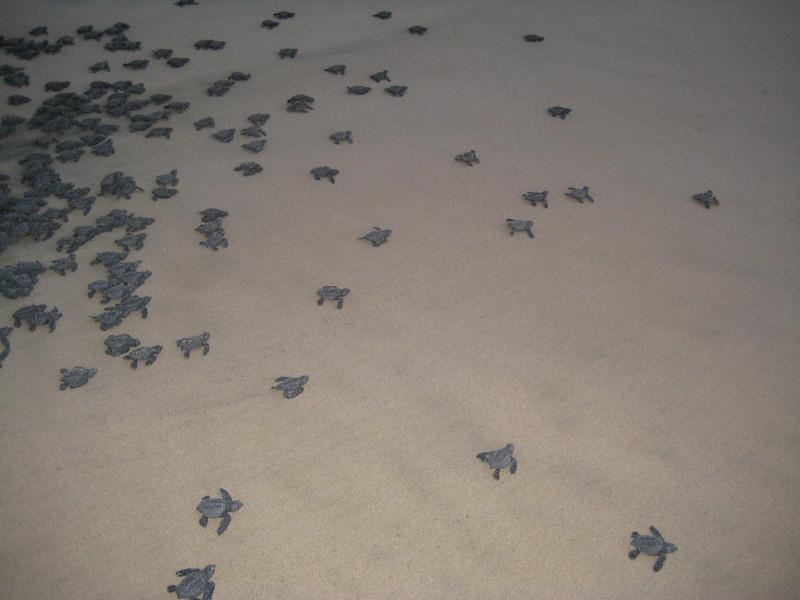 2007-11-30-0030-Las Alamandas in Jalisco, Mexico with Hahns-Sea Turtles Hatched from Rescued Eggs at Las Almandas.JPG