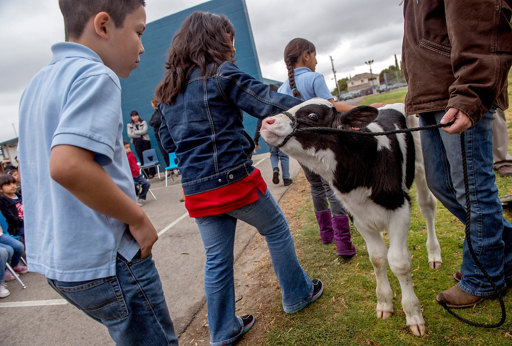 . Foster Elementary third-grader Jeshua (cq) Benitez, 9, left, approaches to pet three-day-old Holstein cow Crunch while learning all about cows and milk from the Dairy Counsel of California\'s Mobile Dairy Classroom instructor Laura LaFayette at the Baldwin Park campus April 15, 2013.   (SGVN/Staff photo by Leo Jarzomb)
