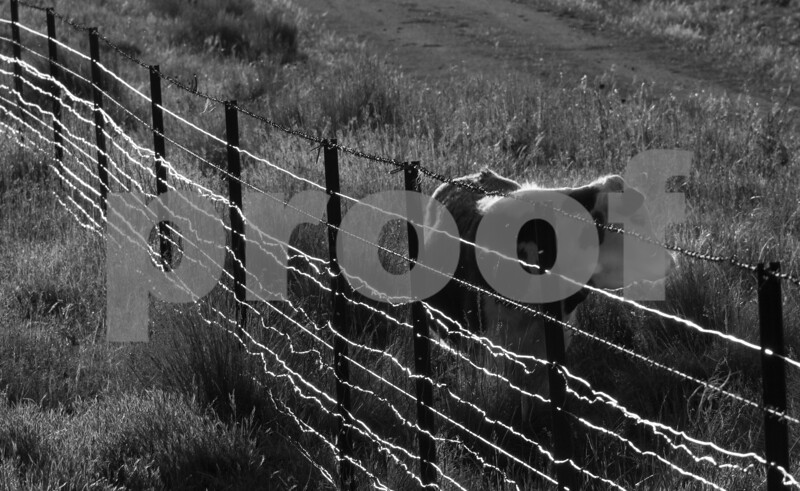 cow and fence crop.jpg