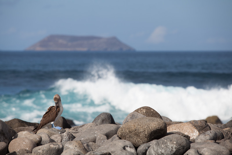 A blue-footed booby looks out over the rocks and surf.