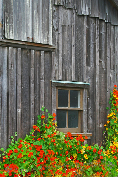 Flowers & Silver Wood ~ Wandering in the Village of Mendocino, I saw this old weathered building, with nasturtiums climbing up the wall.  With all the great Victorian architecture in Mendocino, this was my favorite detail.