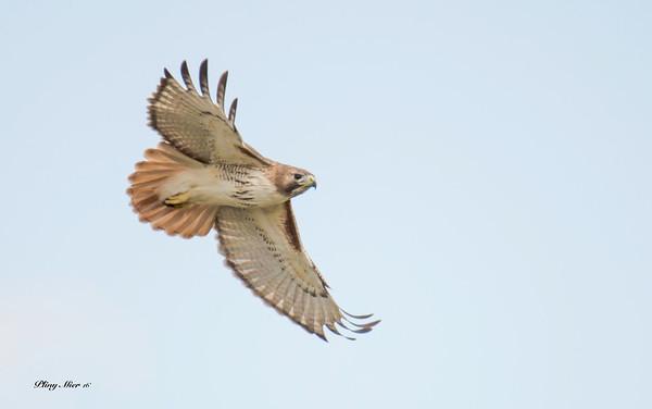 Red-tailed Hawk CB_DWL7138.jpg