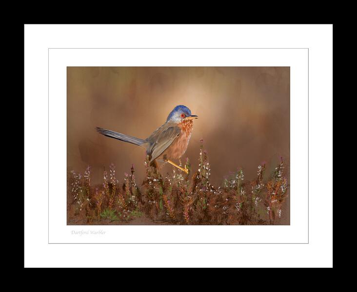 Dartford Warbler 3.jpg