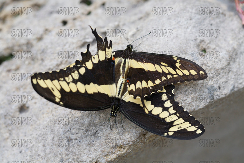 Giant Swallowtail Butterflies (Papilio cresphontes) mating.
