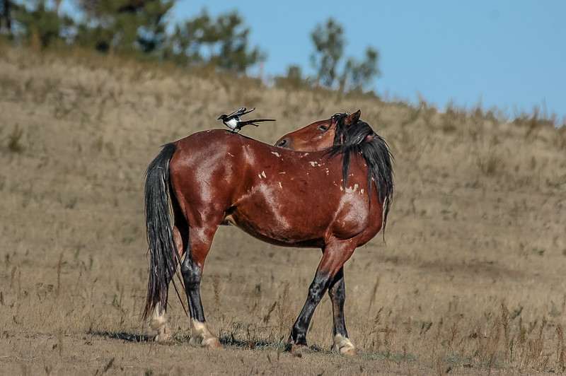 Wild Horse and Magpie