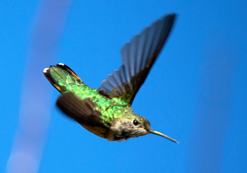 hermannparkhummingbird11.jpg