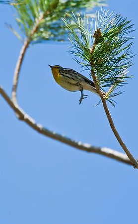 Graces Warbler