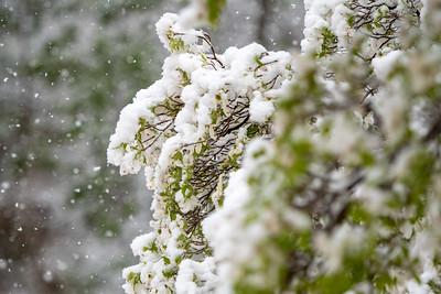 Dogwood and Snow