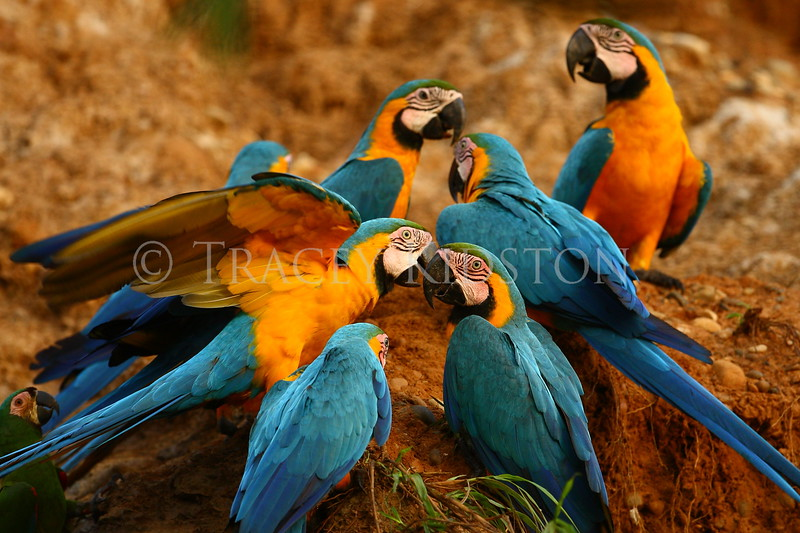 Tambopata Macaw Project Conservation Prints
