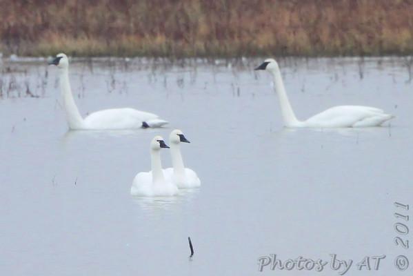 2011-11-21 Riverlands Migratory Bird Sanctuary