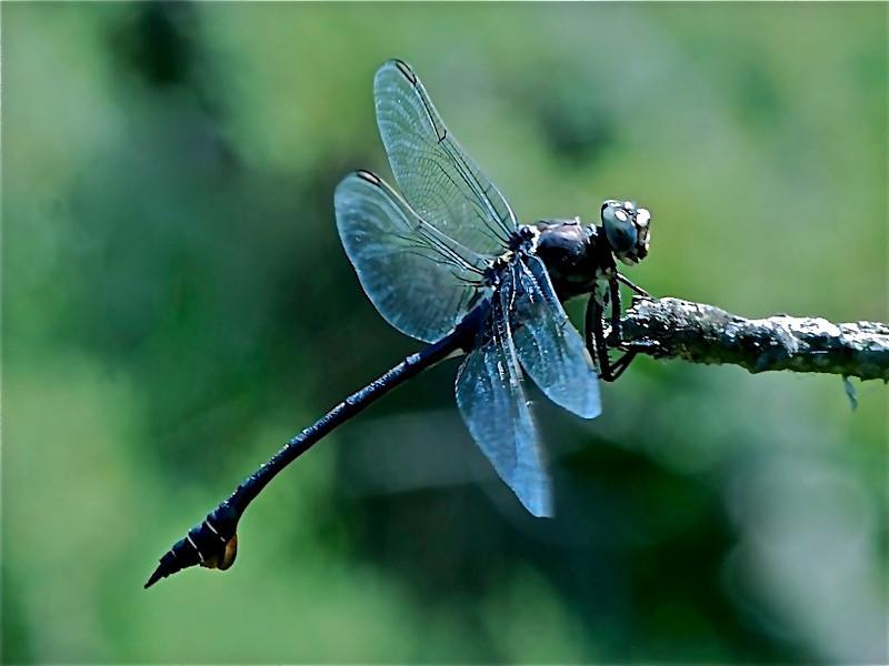 Bladetail (Rare) Sardinia