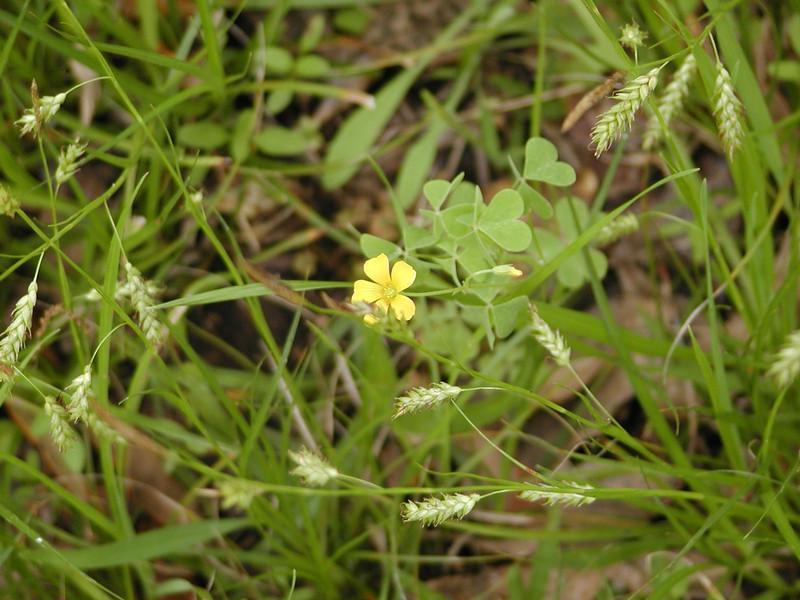 Oxalis dillenii - Yellow Wood Sorrel