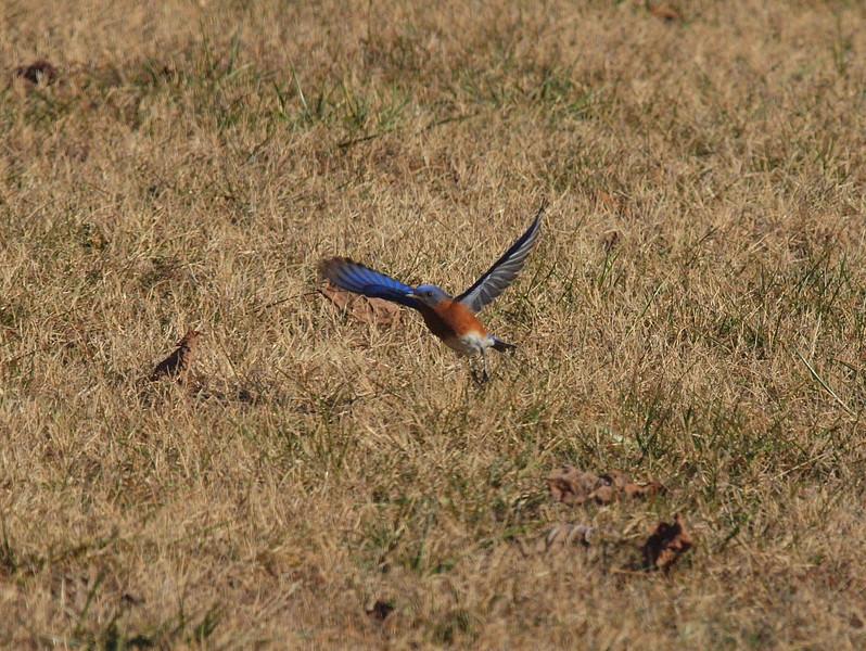 Bluebird-019.JPG