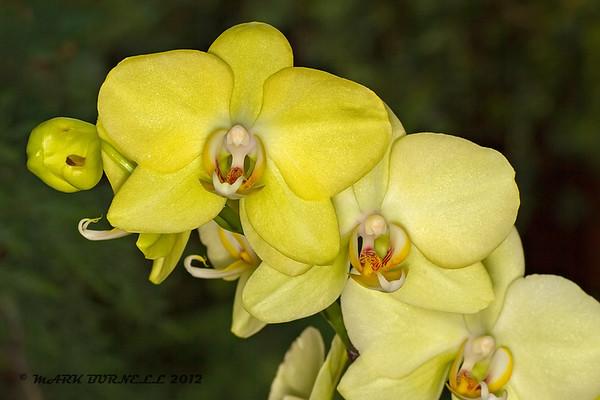 Manitoba Orchid Society Show 2012