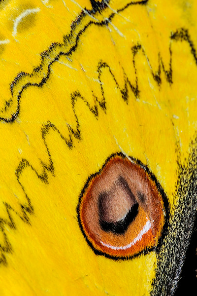 Golden-Emperor-moth-wing.jpg