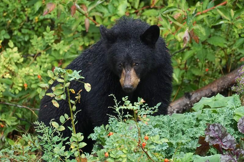 Pemberton Bear