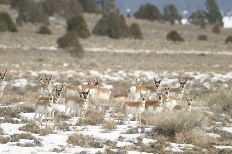 Pronghorns are very curious. This band was drawn closer by waving a white plastic bag—an old hunters trick [February; near Bryce Canyon, Utah]