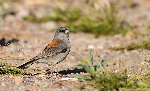 Juncos and sparrows