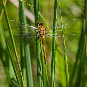 Black Darter ~ Sort Hedelibel
