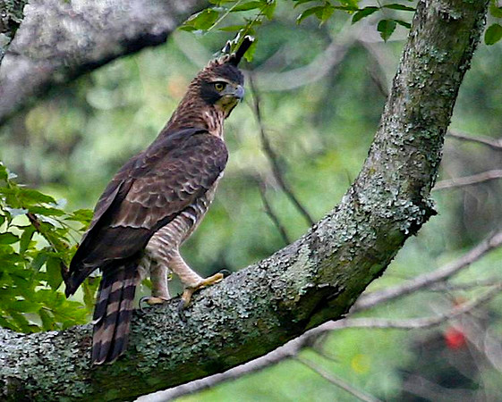 ACCIPITRIDAE Hawks and Eagles