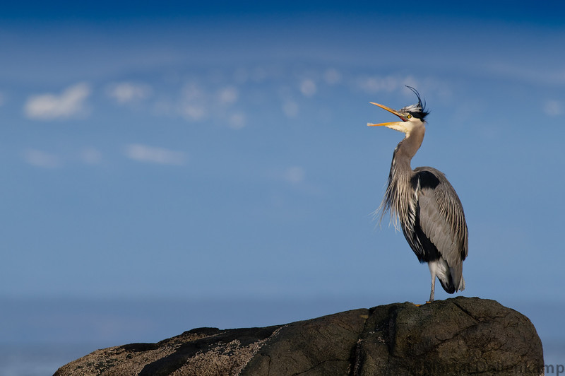 A Great Blue Heron having a stretch after a bit of preening.