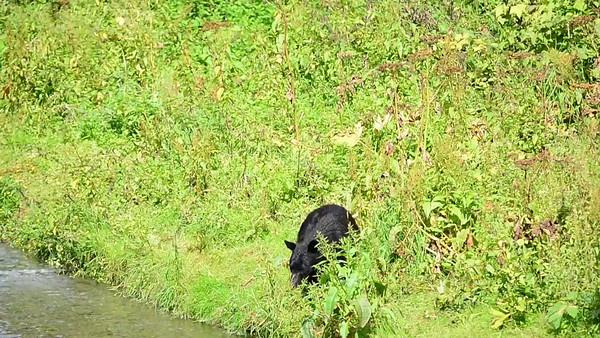 8-06-14 Black Bear Video