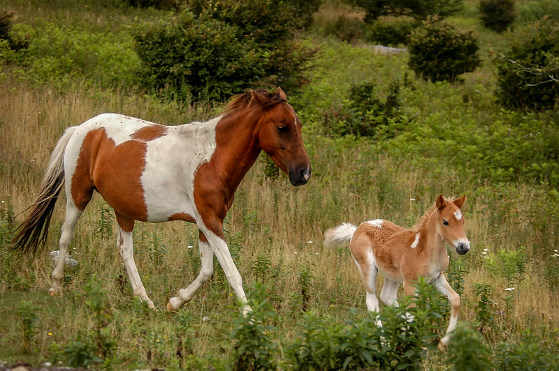 Wild Pony and Foal #1, MR