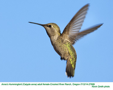 Anna's Hummingbird F27689.jpg