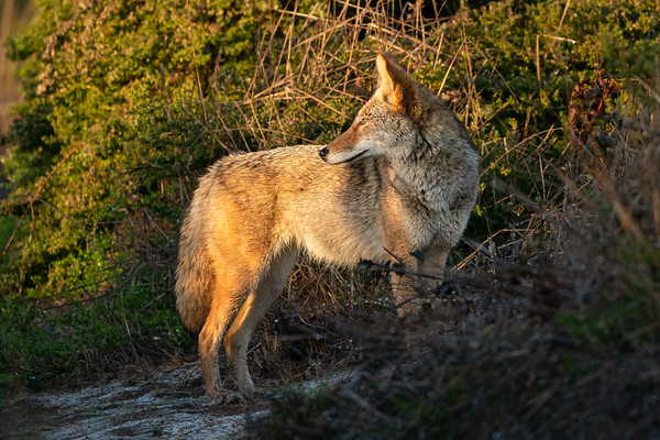 Coyotes - Please click on a photo to enlarge the image.